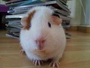 meerschweinchen-des-monats
