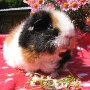 Teddy Meerschweinchen Fee