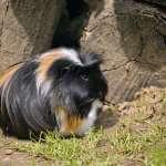 Meerschweinchen im Freien: Alles zur Meerschweinchen Außenhaltung