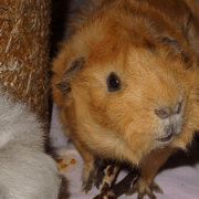 meerschweinchen-butzki