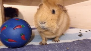 meerschweinchen-spielzeug-futterball