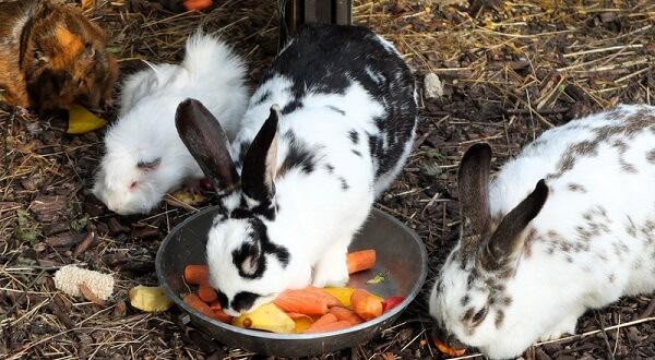 kaninchen-und-meerschweinchen