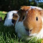 Leihmeerschweinchen - Zusammen ist man weniger allein!