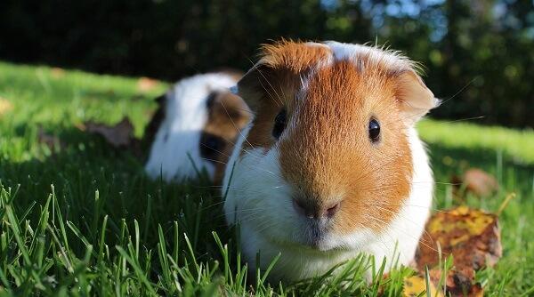 Leihmeerschweinchen