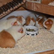 Teddy Meerschweinchen Gruppe