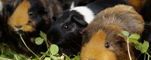 7 Gründe für Meerschweinchen als Haustiere