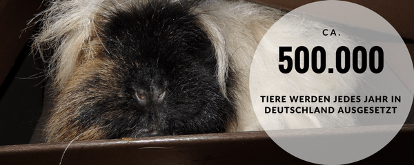 Ausgesetztes Meerschweinchen gefunden, was tun?