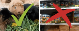 Trockenfutter & Co.: Auswirkungen schlechter Meerschweinchen Ernährung