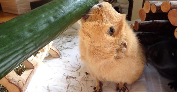 Gurke für Meerschweinchen
