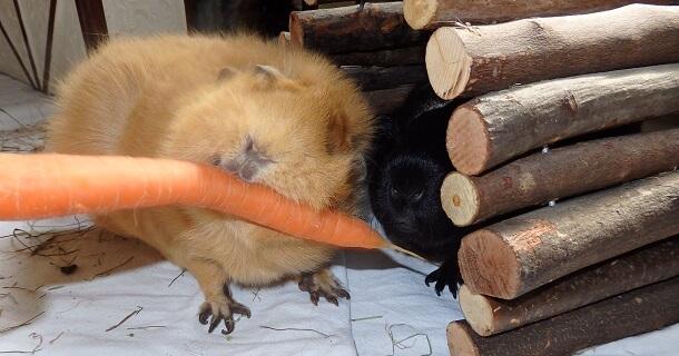 Karotten für Meerschweinchen