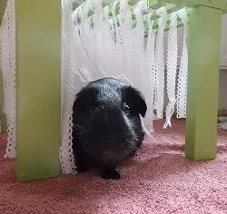 Waschanlage für Meerschweinchen