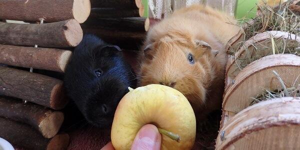 Obst für Meerschweinchen