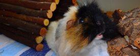 Friseurschweinchen: Was hat es mit dem Haare fressen auf sich?