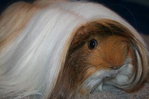 Peruaner in Schoko-Buff-Agouti-Buff-weiß