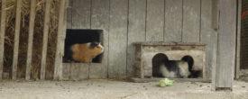 Meerschweinchen-Außenhaltung im Sommer