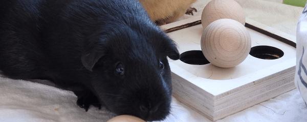 Aktuelles Intelligenzspielzeug für Meerschweinchen