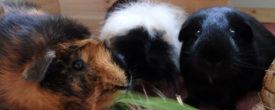 Häufige Vorurteile gegenüber Tierheim Meerschweinchen