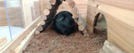 Kokoseinstreu für Meerschweinchen